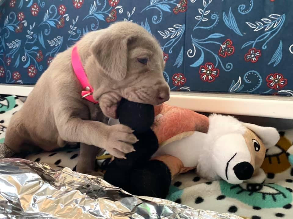 www.barrettweimaraners.com_Ruby-Puppies_2021-03-21_10