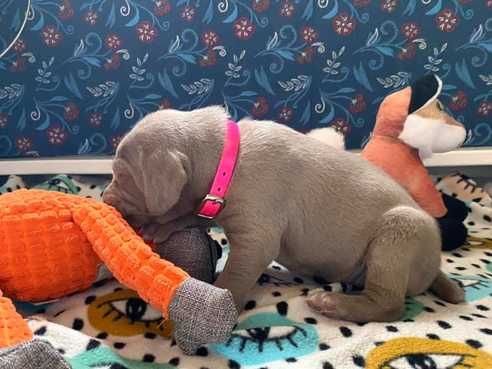 www.barrettweimaraners.com_Ruby-Puppies_2021-03-21_12