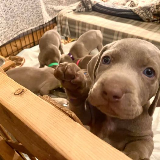 www.barrettweimaraners.com_Ruby-Puppies_2021-03-31_Day-34