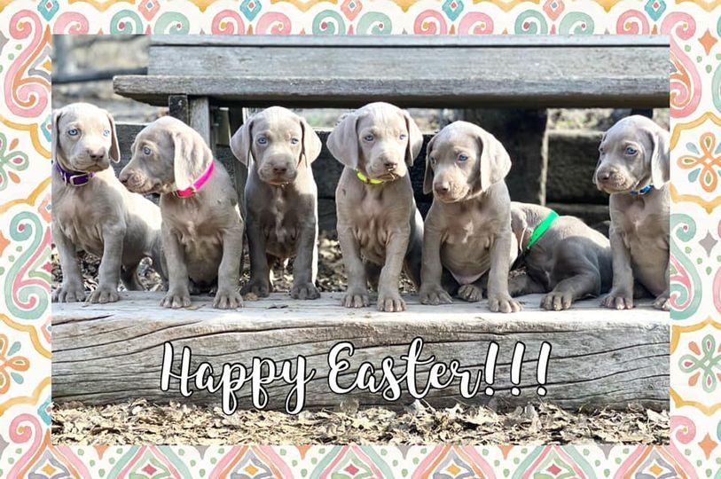 www.barrettweimaraners.com_Ruby-Puppies_2021-04-04_Day-38