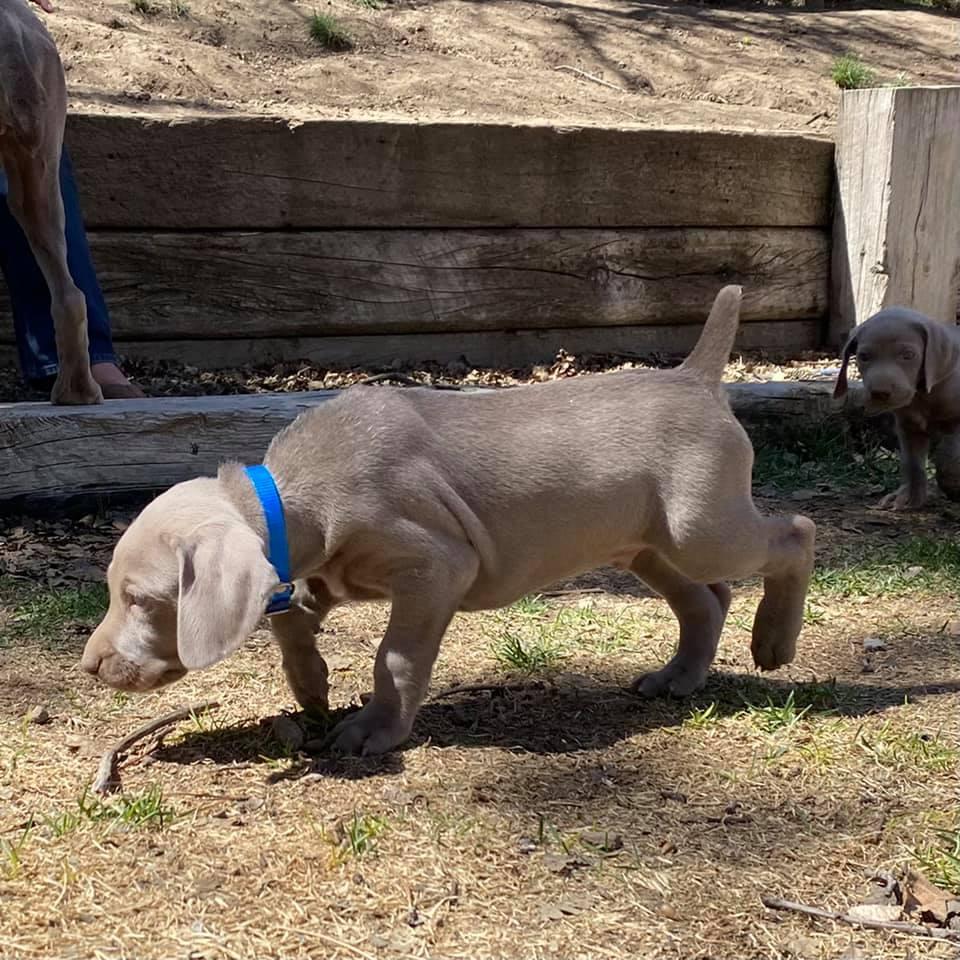 www.barrettweimaraners.com_Ruby-Puppies_2021-04-05_Day-39_02