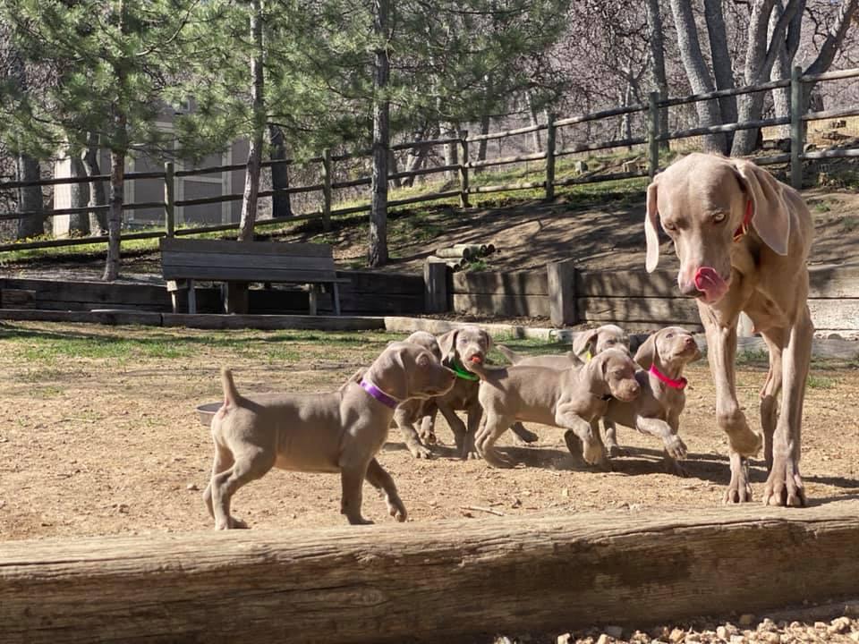 www.barrettweimaraners.com_Ruby-Puppies_2021-04-15_Day-49_01