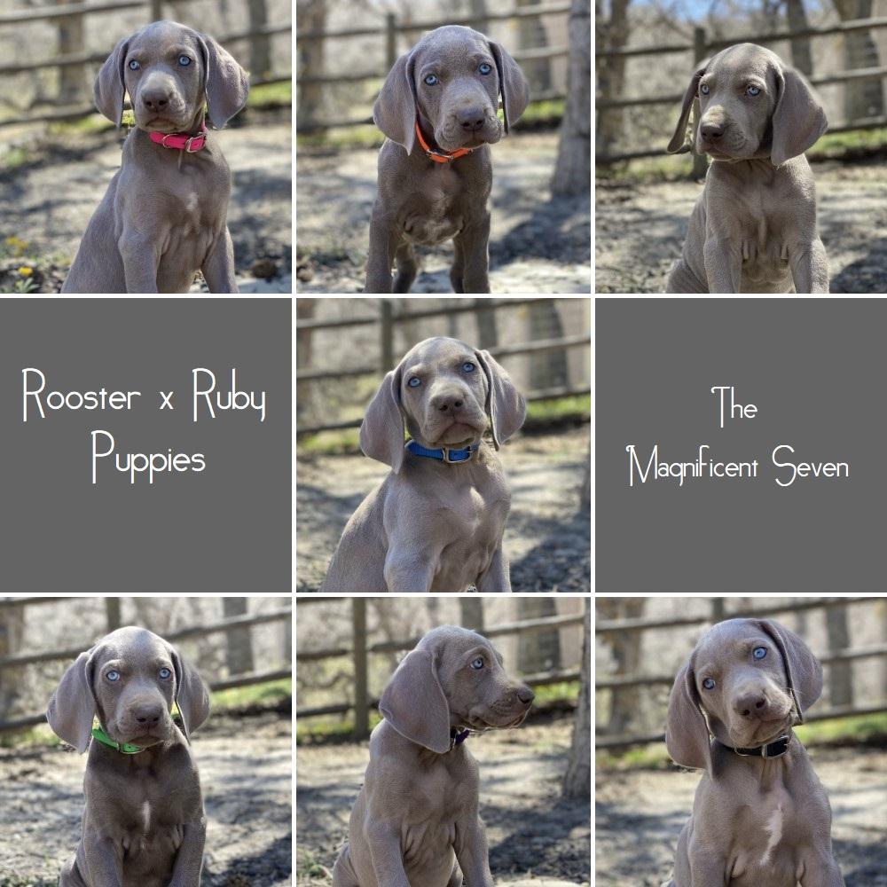 www.barrettweimaraners.com_Ruby-Puppies_Headshots