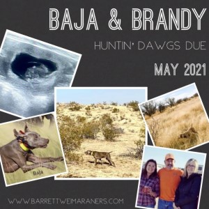Baja x Brandy Litter Due in May