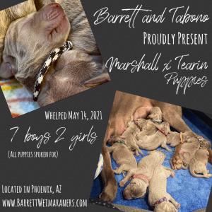 www.barrettweimaraners.com_Marshall-Tearin_Birth-Announcement_300