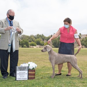 2021 Weimaraner Western Futurity and Maturity Placements
