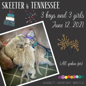 www.barrettweimaraners.com_Skeeter-Tennessee_2021-06-12_Announcement_300